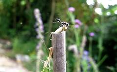 I.mexicana - Supersedure - 24 VI 2014 (el.gritche) Tags: france mexicana garden nest 40 hymenoptera sphecidae isodontia isodontiamexicana supersedure
