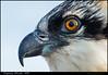 Osprey Chick, MD (Nikographer [Jon]) Tags: summer bird nature birds june md nikon wildlife maryland chick juvenile osprey jun pandionhaliaetus 2014 pandion haliaetus nikographer 20140628d4128383 closeup2014junjunenikonsummer