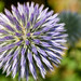 Little Blue Thistle