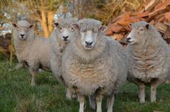 Quatre autres moutons