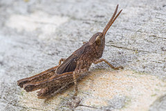 Grasshopper (Species awaiting ID) (Derek.P.) Tags: insectos macro nature insect wildlife insects grasshopper orthoptera naturalworld grasshoppers insekten insectes insetti  invertebrate invertebrates pottericcarr insetos   potteric