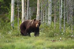 European Brown Bear, Finland (Daniel Trim) Tags: bear wild brown nature finland easter mammal photography european near wildlife border east common russian eurasian ursus arctos kuhmo khumo