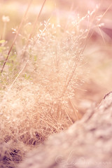 Serene (AlyKPhoto) Tags: pink light wild sun sunlight flower macro nature beauty canon outside outdoors happy weeds weed soft pretty peace blossom wheat country rustic tan peaceful sunny 100mm bloom usm wildflower pure f28 6d