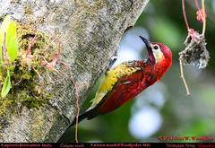 CRIMSON-MANTLED WOODPECKER Male Colaptes rivolii at the Nest in the Tandayapa Valley of northwestern Ecuador. Photo by Peter Wendelken. (Neotropical Pete) Tags: ecuador woodpecker ngc colaptes picidae tandayapavalley ecuadorbirds piculus southamericanbirds crimsonmantledwoodpecker piculusrivolii colaptesrivolii andeanbirds peterwendelken neotropicalwoodpecker carpinterodorsicarmesí ecuadorwoodpeckers southamericanwoodpeckers valledetandayapa woodpeckerphotobypeterwendelken crimsonmantledwoodpeckerinecuador crimsonmantledwoodpeckermale fotodecarpinterodorsicarmesí