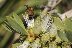 Busy (ImagesByLin) Tags: flower macro canon bush flora bees australia grevillea canoneos650d