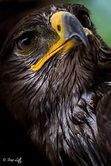 Regalit. ... (irenelottiph) Tags: love animals festival canon passion animale aquila rapace 60d falconeria baiso bestcapturesaoi elitegalleryaoi