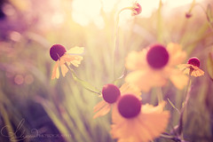 Together (AlyKPhoto) Tags: summer sun plant flower nature yellow canon botanical outside happy 50mm weed flora warm blossom warmth sigma sunny bloom 6d