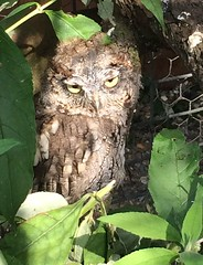 Owl (danielrebak) Tags: summer fab holiday wow suffolk amazing fantastic nocturnal owl prey birdofprey photooftheday picoftheday cockeyed nocturnalanimal picofday photoofday