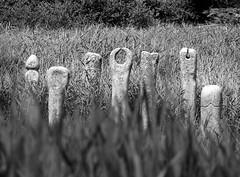 stones in a pond at Sharpham Vineyard (maggie224 -) Tags: bw reeds pond stones carving devon sharphamvineyard