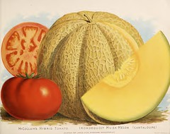 Musk melon and tomatoes. Vick's Garden and Floral Guide (1889) (Swallowtail Garden Seeds) Tags: flowers vegetables vintage botanical seeds botany santarosa publicdomain vintageillustration seedcatalogs vintagebotanicalillustration swallowtailgardenseeds publicdomainflowers publicdomainbotanicalillustrations seedcatalogueillustration