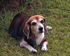 Pooky, My Brown-eyed Girl (Mike McCall) Tags: beagle pooky mikemccallphotography ©2014mikemccall