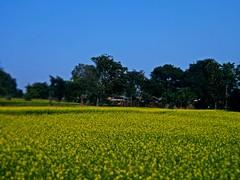 Sarson Ke Khet (Mustard Field) (Koushik's Vision) Tags: nature field village hill mustard struggle villagers sarson poorman koushik ayodhya khet beautifulvillage bagmundi koushiksvision ayodhyahills westbengalvillagers trekinpurulia