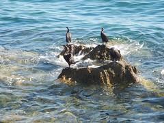Parenzo Agosto 2014 - 164 (Cristiano De March) Tags: animal animals mare uccelli croazia animali animale vacanze hrvatska cormorani cormorano cristianodemarch