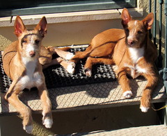 O da esquerda, mais gordo (Américo Meira) Tags: portugal caxias cão dois luz