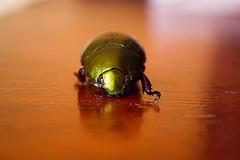 B (BrendaLomeu) Tags: green verde wood madeira besouro beatle macro micro nikon
