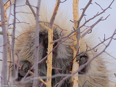 porcupine eating bark (brian eagar - very busy - not much time to comment) Tags: wildlife wild animal nature utah utahwildlife utahnature mammal utahmammal morgancounty porcupine claw eye quil sharp branch tree bark eating eyecontact fuji fujifilm fujinon xt2 100400 fuji100400