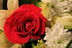 Red for Love (Nourah.A.Edhbayah (Super Flower♥إظبيه)) Tags: زهره ورده اظبية عبدالله نورة edhbayah abdullah nourah rose flower q8 kuwait love for red