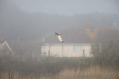 Shortie at Uphill #4 of 5 (Steve Balcombe) Tags: bird birdofprey shorteared owl uphill westonsupermare somerset uk fog asio flammeus