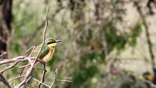 IMG_5021a - Little Bee-eater (Merops pusillus), Ndutu Preserve, Tanzania - GPS #387