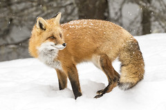 Red Fox (Michael Zahra) Tags: canada ontario algonquin north winter snow mammal canon 7d2 wildlife nature conservation park red fox fur tail fluffy