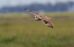 Short-eared Owl (Hockey.Lover) Tags: shortearedowl