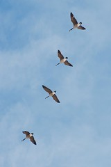 Canadian geese returning home after winter (SilverLen) Tags: geese spring bird canada goose four flying free air flight overhead soar wings beaks aerial nikon d7000 70300 winnipeg manitoba assiniboine forest soaring above