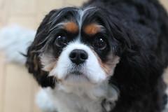Yes, Millie,  what would you like? (MomOfJasAndTam) Tags: dog fur furry millie nose portrait hff happyfurryfridayalmost spaniel kingcharlescavalierspaniel pet animal friendsdog face canine sweet playful snout nostrils