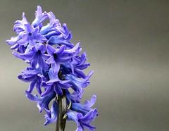 Frühling (Dorschjäger) Tags: hyazinthe blüte pflanze natur frühling
