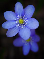 Common hepatica (Jens Flachmann) Tags: flower blossom closeup germany bielefeld liverwort commonhepatica hepaticanobilis blue purple nature