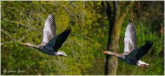 Synchro Pairs III (lukiassaikul) Tags: wildlifephotography wildanimals birds wildbirds largebirds goose geese greylaggoose uk fly flight wings birdsinflight urbanwildlife weststow naturereserve