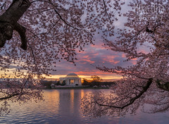Cherry Blossoms & Tidal Basin (mikeSF_) Tags: washington dc tidalbasin cherryblossoms jefferson memorial landscaoe water mikeoria 645 645z cherry sunrise capital monument wwwmikeoriacom outdoor reflection cloudy