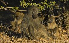 At Least Someone Is Awake (philnewton928) Tags: chacmababoon baboon monkey primate papioursinus mammal animal animalplanet wild wildlife nature natural bateleur kruger krugernationalpark africa southafrica outdoor outdoors safari nikon nikond7200 d7200 goldenhour sunrise