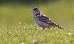 Skylark (alauda arvensisa )  - Back lit !! (Clive Brown 72) Tags: uplands mountain wales backlit songbird song lark bird skylark