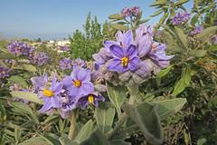 G_1292A (RobHelfman) Tags: losangeles flowers kennethhahnstaterecreationarea