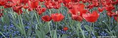 redumbrellas... (lucaricchieri) Tags: tulips tulipanirossi tulipani red redandgreen redflowers redandindigo fioriindaco indaco fiori green greencolor greenandred greenandindigo verde rosso natura nature flowers
