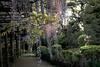DSC_1662 (sayo-tsu) Tags: 埼玉県 春日部市 kasukabe saitama wisteria 藤 特別天然記念物 牛島のフジ