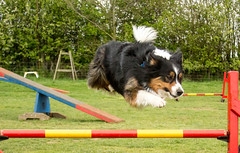 Dogs at Agility (sharongellyroo) Tags: aceagility glemsford suffolk sunshine dogtraining bordercollie ki