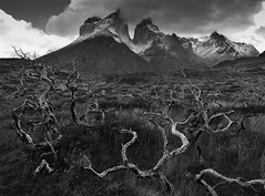 Burnt trees in Patagonia (Cyrus Smith NW) Tags: patagonie patagonia chile chili trees arbres montagne torres del paine nb bw scharz blanc noir weiss black white burned burnt incendie troncs fire nature landscape wild sauvage cuernos natur licht light lumière autofocus