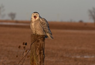 Snowy owl yawning