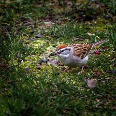 Snap-Crackle (Portraying Life, LLC) Tags: k1da3004hd14tc michigan unitedstates bird meadow foraging wild handheld nativelighting