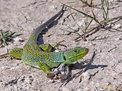 Lagarto ocelado (Timon lepidus) (6) (eb3alfmiguel) Tags: reptiles lagarto