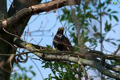 Schwarzdrossel (Argentarius85) Tags: nikond5300 tamron70300mm456vcusd vogel bird amsel turdusmerula schwarzdrossel