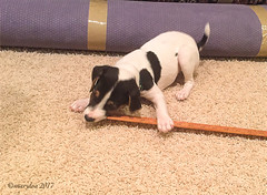 Yup. Definitely a chewy toy... (marylea) Tags: mar18 2017 iphone puppy measure parsonrussellterrier parsonrussell terrier dog howtomeasureapuppy dooley jackrussellterrier jackrussell