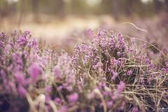 Spring mountain flowers (kana movana) Tags: flowers mountain spring pink forest field zlatibor serbia srbija floral blossom bloom d800