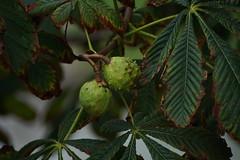 Der Herbst kommt (JeDo_Foto) Tags: kastanie baum herbst blätter schale oktober