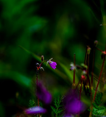 """Beauté nocturne..."" (AnthonyOuvrelle.Photography) Tags: flore fleur floral flowers floraison paysage bokeh printemps couleur saison jardin ambiance color lumiere light nikon sigma calme macro macrophoto macrophotographie proxyphoto photo photographe"