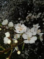 White Power (eikeblogg) Tags: weissdorn blueten blossoms springbreak mobilephotography detail white natureshots growth flowers beauty