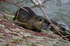 Nutrija ob Ljubljanici (rlubej) Tags: ljubljana animals rivers ljubljanica