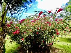 Version 2 Belize spice farm (bermudafan8) Tags: 2017 spring break bermudafan8 belize flowers