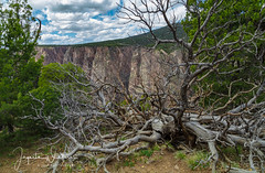 Beyond Twisted Edges ~ North Rim of the Black Canyon 4-19-17 -1275 (Photographer / Artist) Tags: northrimoftheblackcanyon colorado crawford canon5dsr rockymountains springtime trees naturephotography twistedtrees deadtrees bluesprucetrees moss canyons rocks